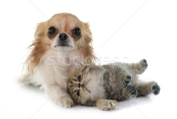 子猫 エキゾチック ショートヘア 犬 猫 子犬 ストックフォト © cynoclub