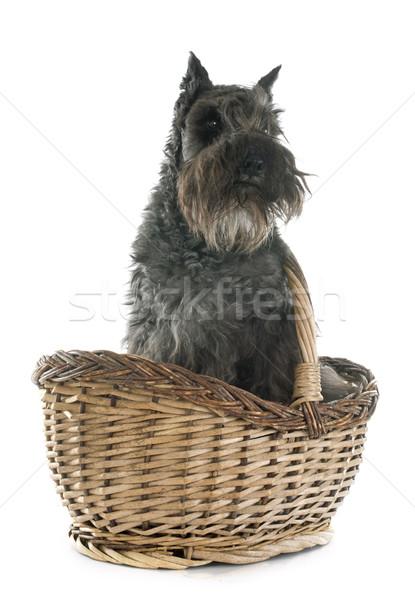 Miniatur Schnauzer weiß Hund Tier Haustier Stock foto © cynoclub