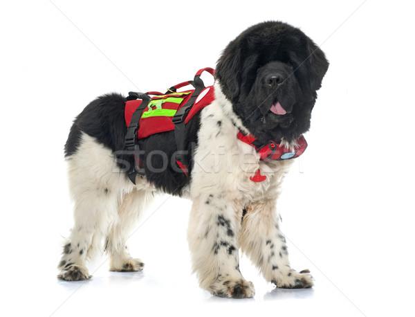 Salvare newfoundland câine alb apă negru Imagine de stoc © cynoclub