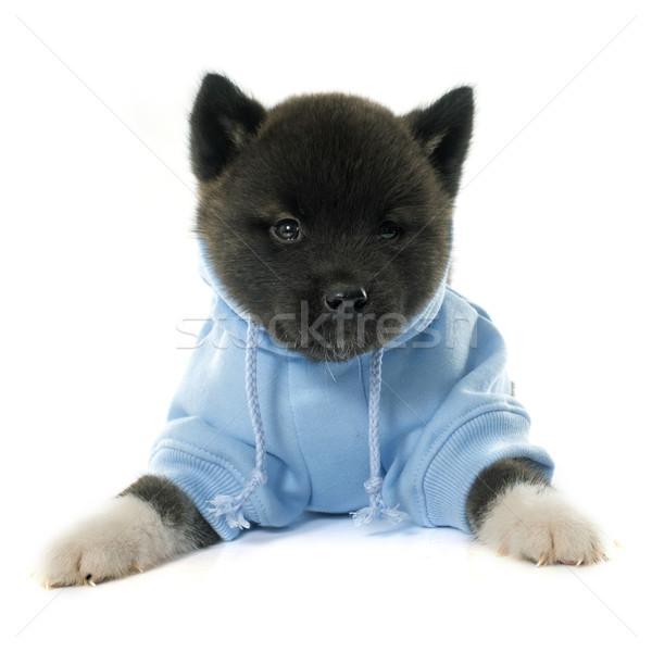 dressed puppy american akita Stock photo © cynoclub