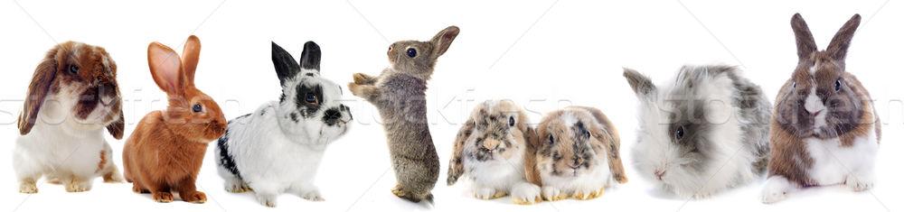Сток-фото: группа · Кролики · белый · кролик · фермы · черный