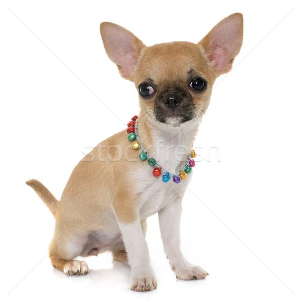 щенков короткошерстная собака ПЭТ Сток-фото © cynoclub