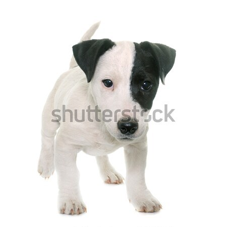 dalmatian dog in studio Stock photo © cynoclub