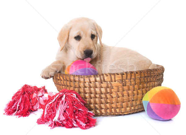 щенков Лабрадор ретривер белый собака игрушку молодые Сток-фото © cynoclub