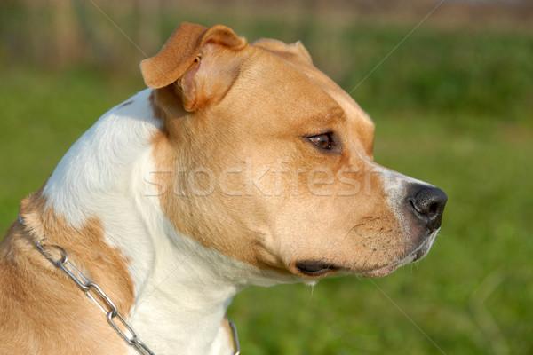 american staffordshire terrier Stock photo © cynoclub