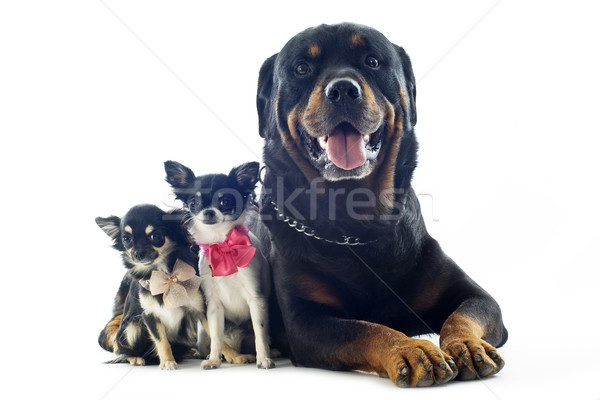 rottweiler and chihuahuas Stock photo © cynoclub