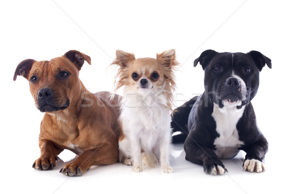 staffordshire bull terriers and chihuahua Stock photo © cynoclub