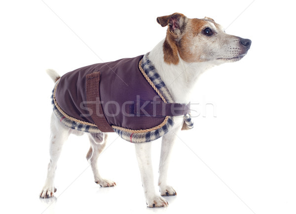 jack russel terrier with coat Stock photo © cynoclub