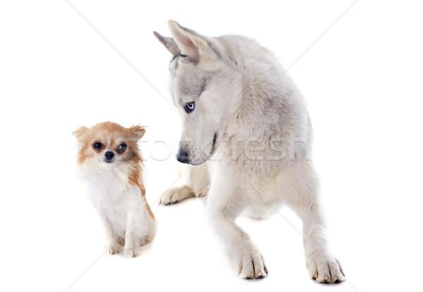 siberian husky and chihuahua Stock photo © cynoclub