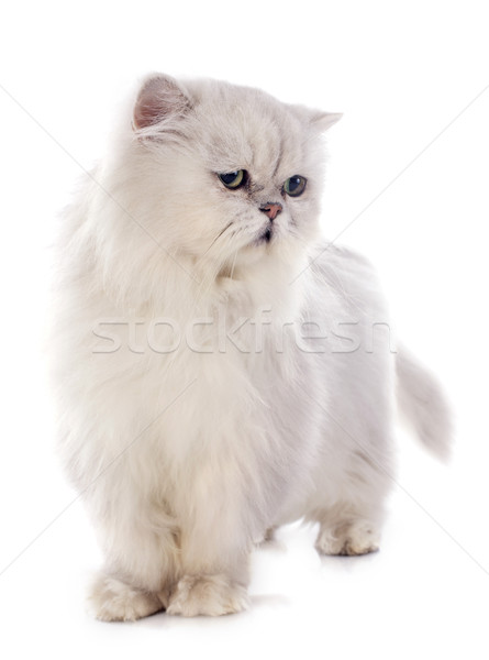 Blanche chat persan chat vert Homme animal Photo stock © cynoclub