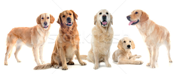 Dorado pecado frente blanco perro Foto stock © cynoclub