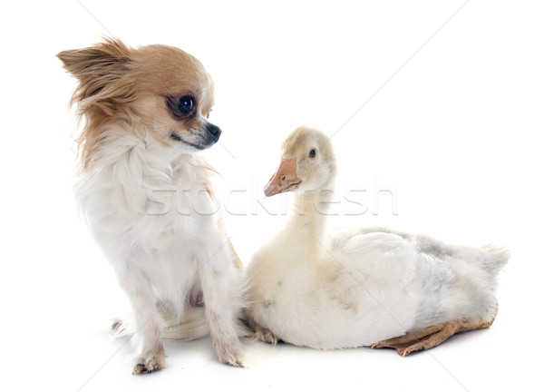gosling and chihuahua Stock photo © cynoclub