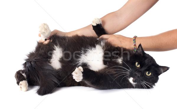 Gato preto branco mão animal masculino animal de estimação Foto stock © cynoclub