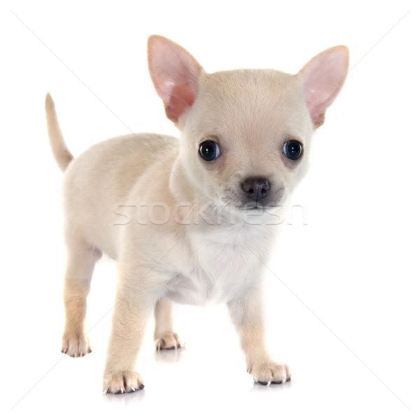 子犬 白 動物 男性 孤立した 白地 ストックフォト © cynoclub