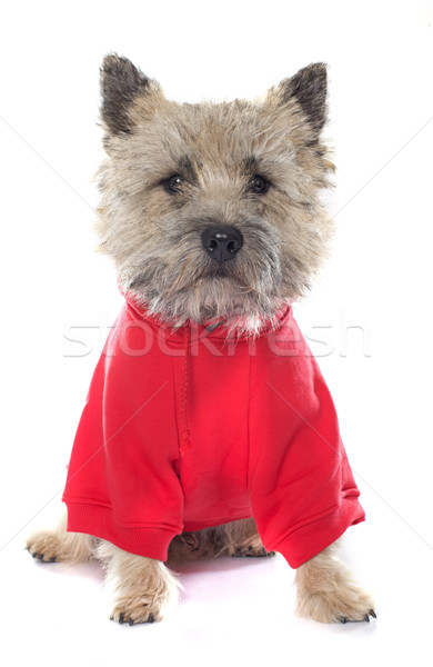dressed cairn terrier Stock photo © cynoclub