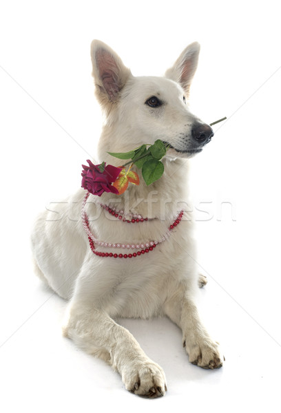 swiss white shepherd and rose Stock photo © cynoclub