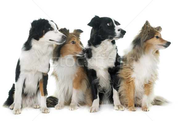 four beautiful dogs Stock photo © cynoclub