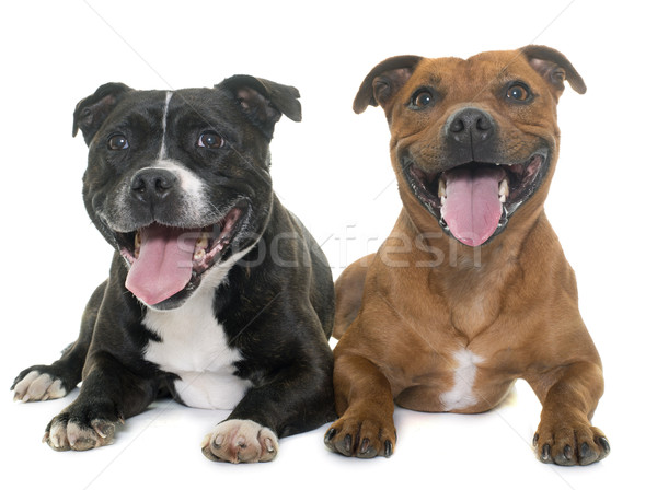 stafforshire bull terriers Stock photo © cynoclub