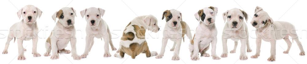 щенки Американский бульдог белый щенков ПЭТ бульдог Сток-фото © cynoclub