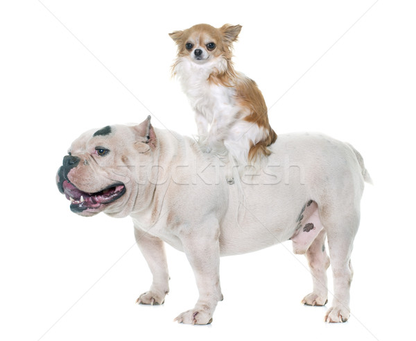white american bully and chihuahua Stock photo © cynoclub