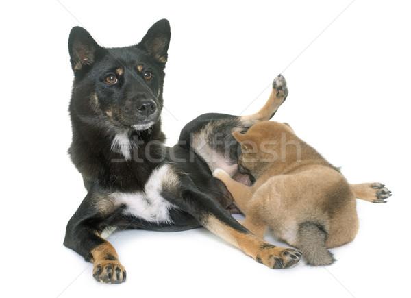 puppy and adult shiba inu Stock photo © cynoclub