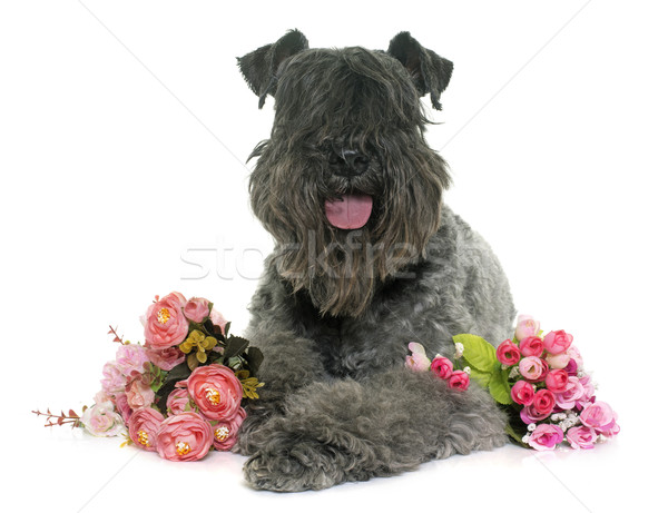 kerry blue terrier Stock photo © cynoclub