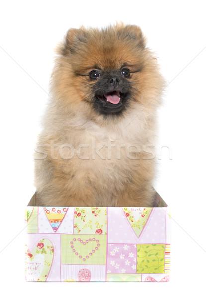 Stock photo: young pomeranian dog