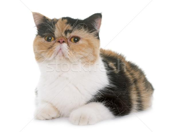 トリコロール エキゾチック ショートヘア 猫 白 ストックフォト © cynoclub