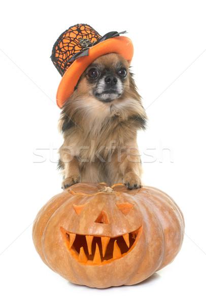 halloween pumpkin and chihuahua  Stock photo © cynoclub