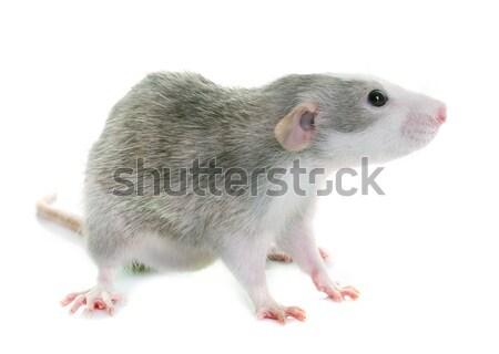 young rat bicolor Stock photo © cynoclub