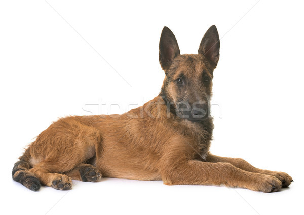 puppy belgian shepherd laekenois Stock photo © cynoclub