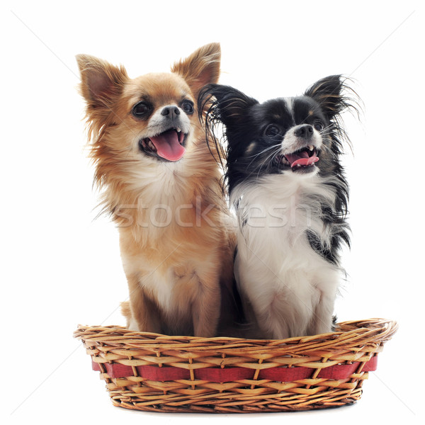 two chihuahuas Stock photo © cynoclub
