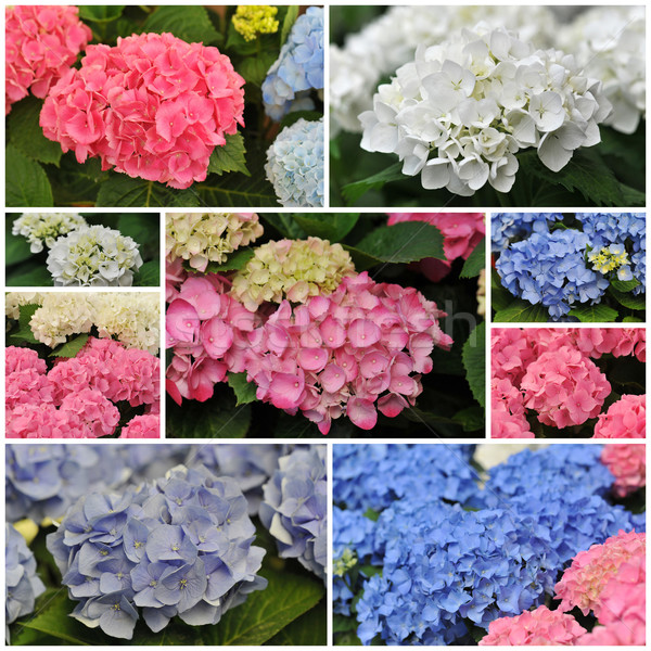 pink blue and white Hydrangea (Hortensia) Stock photo © cynoclub