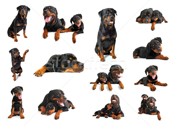 Rottweiler összetett kép kutyakölyök felnőtt fajtiszta Stock fotó © cynoclub