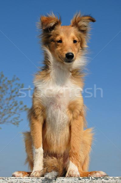 щенков овчарка портрет Blue Sky небе Сток-фото © cynoclub