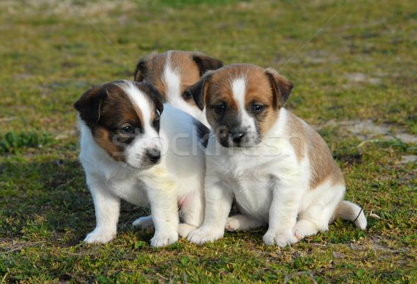 three puppies jack russel terrier Stock photo © cynoclub