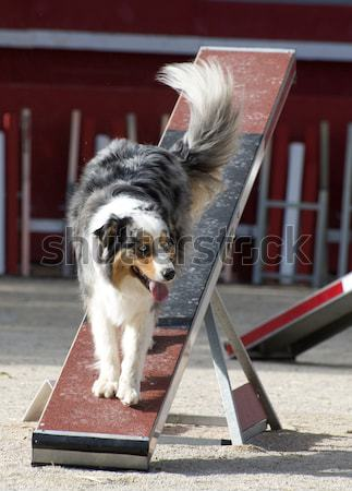 Icelandic Sheepdog in agility Stock photo © cynoclub