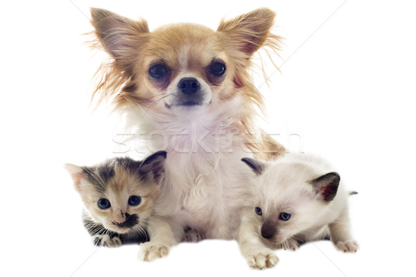 Chiot chaton portrait cute blanche Photo stock © cynoclub