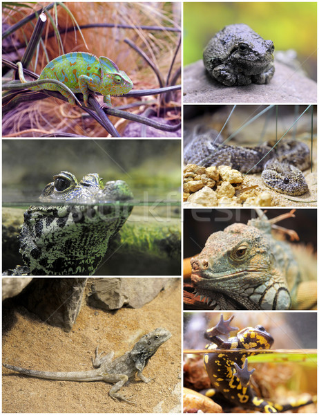 reptiles and amphibians Stock photo © cynoclub