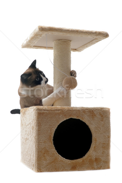 Sziámi macska macska fiatal játszik díszállat izolált Stock fotó © cynoclub