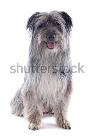 Herdershond portret witte hond studio vergadering Stockfoto © cynoclub