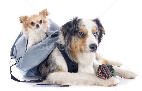 Stock photo: dogs to school