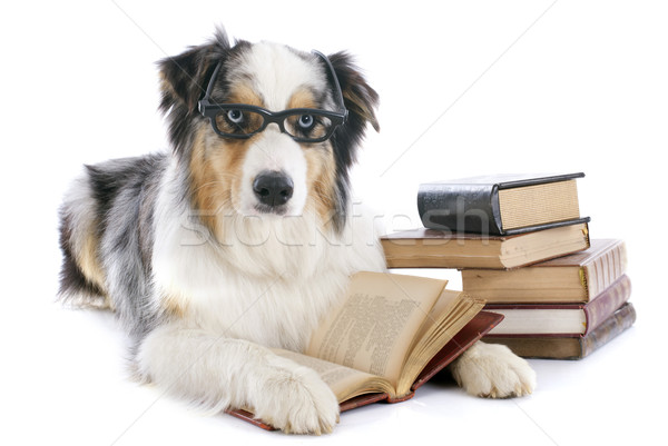 australian shepherd and books Stock photo © cynoclub