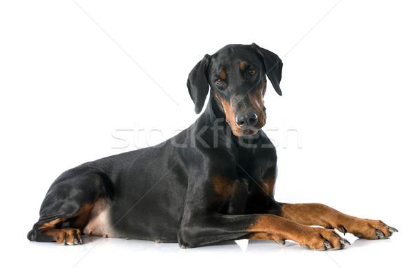 доберман собака черный животного изолированный белом фоне Сток-фото © cynoclub