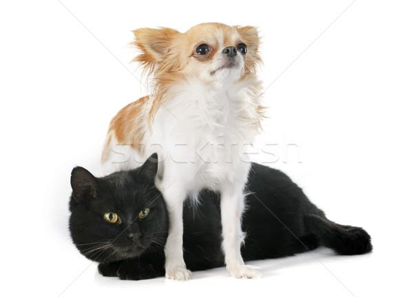 black cat and chihuahua Stock photo © cynoclub