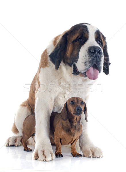 Saint Bernard and dachshund dog Stock photo © cynoclub