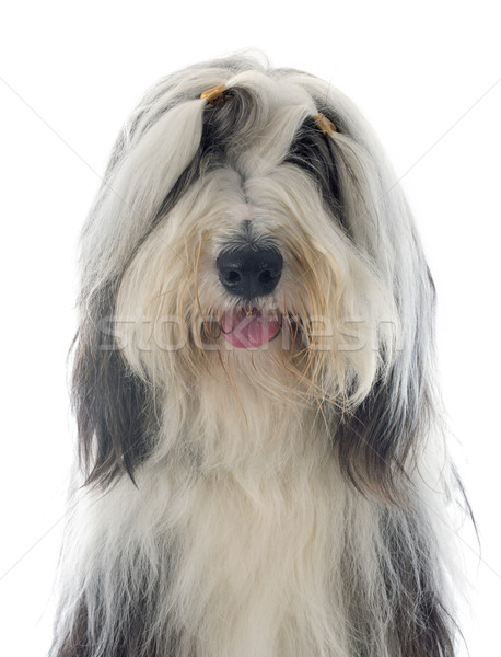 bearded collie Stock photo © cynoclub
