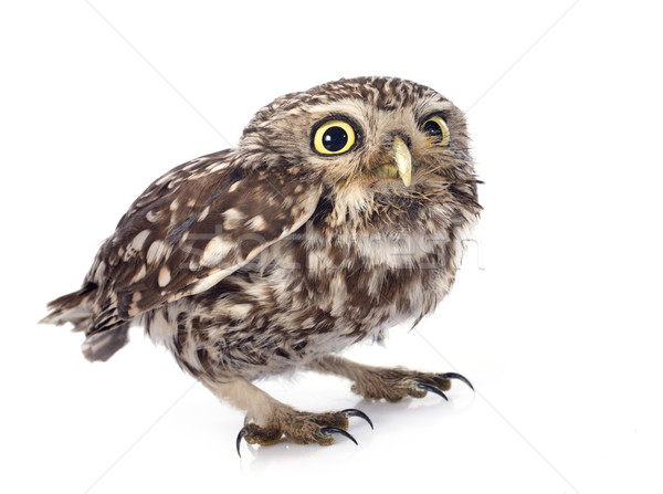 Little owl Stock photo © cynoclub