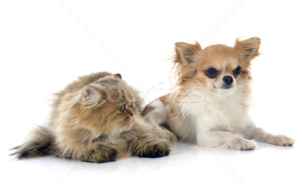 Chat persan chien chat jeunes studio fond blanc Photo stock © cynoclub