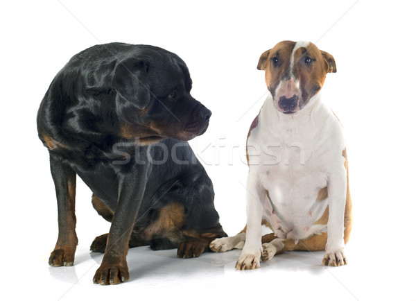 bull terrier and rottweiler Stock photo © cynoclub